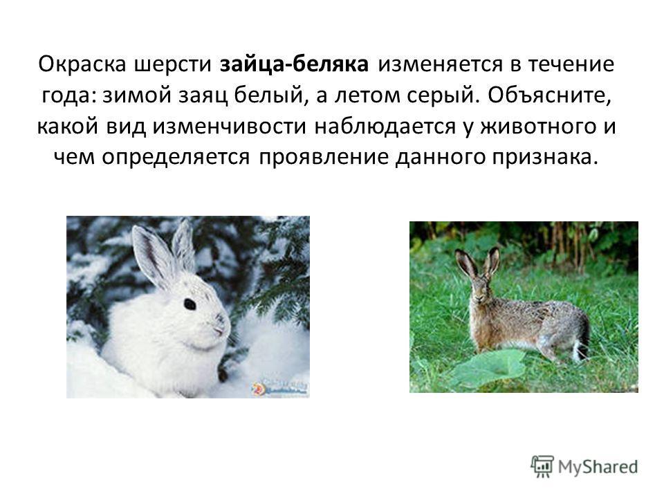 Окраска шерсти зайца-беляка изменяется в течение года: зимой заяц белый, а летом серый. Объясните, какой вид изменчивости наблюдается у животного и чем определяется проявление данного признака.