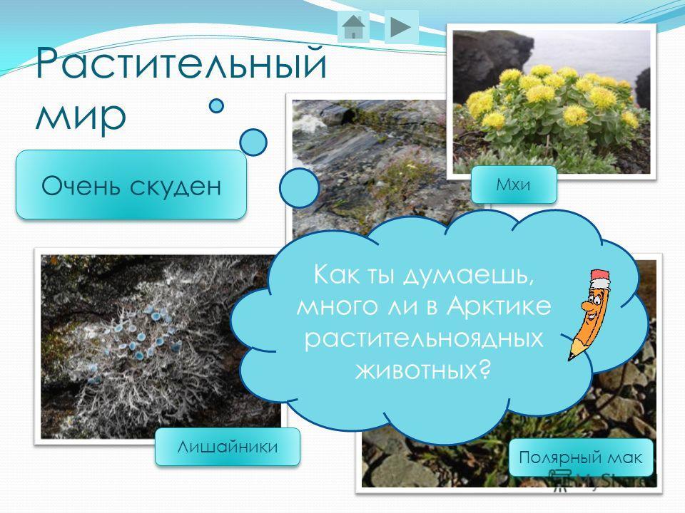 Растительный мир Полярный мак Лишайники Очень скуден Мхи Как ты думаешь, много ли в Арктике растительноядных животных?