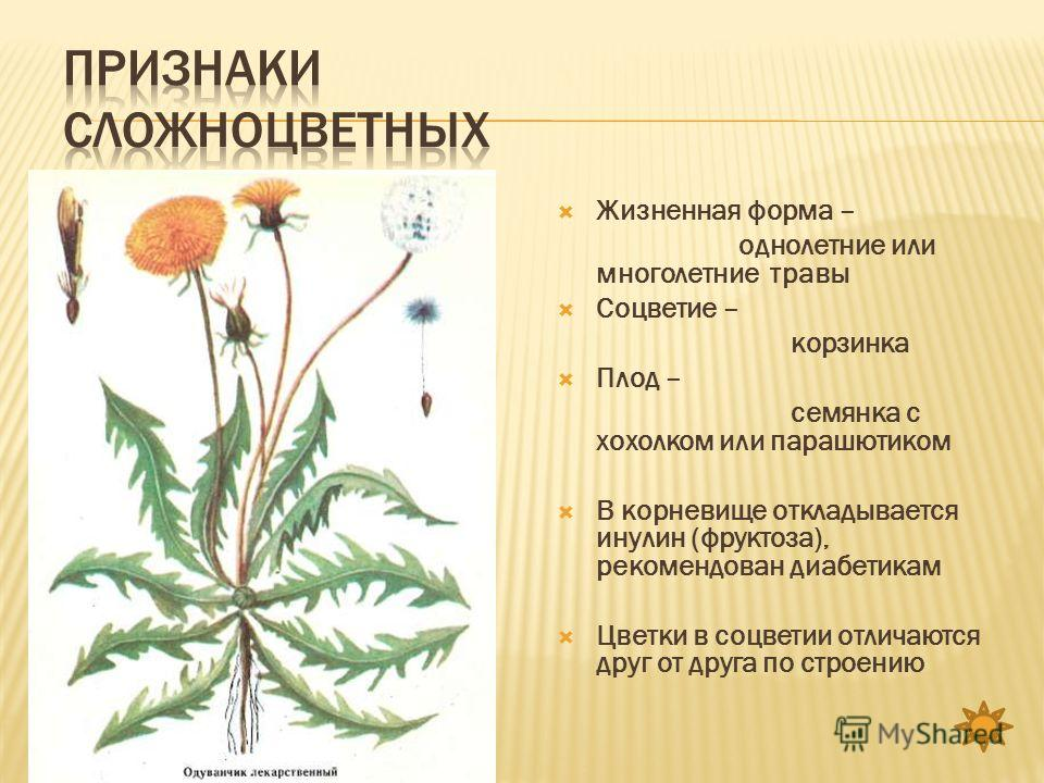 Жизненная форма – однолетние или многолетние травы Соцветие – корзинка Плод – семянка с хохолком или парашютиком В корневище откладывается инулин (фруктоза), рекомендован диабетикам Цветки в соцветии отличаются друг от друга по строению