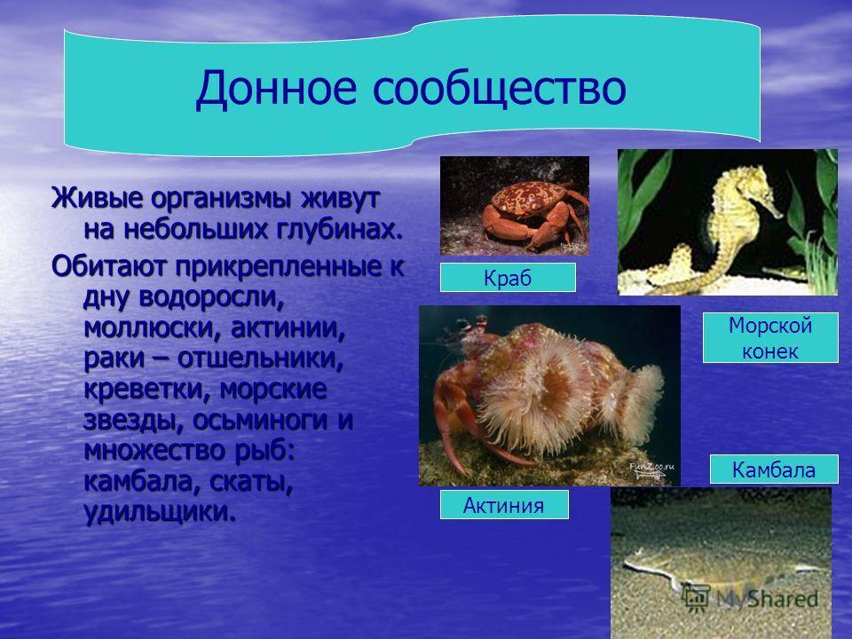 Живые организмы живут на небольших глубинах. Обитают прикрепленные к дну водоросли, моллюски, актинии, раки – отшельники, креветки, морские звезды, осьминоги и множество рыб: камбала, скаты, удильщики. Донное сообщество Краб Морской конек Актиния Кам
