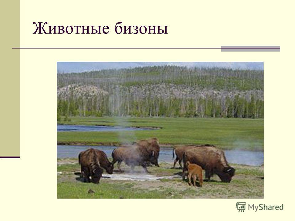 Животные бизоны