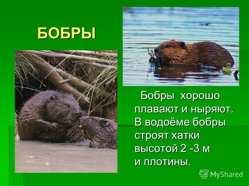 БОБРЫ Бобры хорошо плавают и ныряют. В водоёме бобры строят хатки высотой 2 -3 м и плотины. Бобры хорошо плавают и ныряют. В водоёме бобры строят хатки высотой 2 -3 м и плотины.
