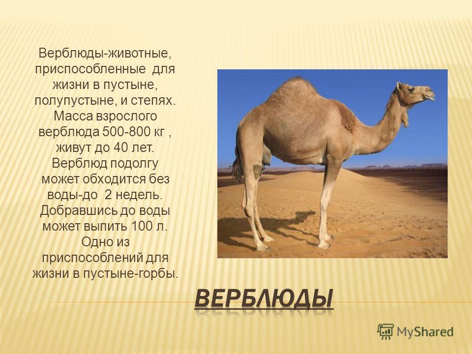 Верблюды-животные, приспособленные для жизни в пустыне, полупустыне, и степях. Масса взрослого верблюда 500-800 кг, живут до 40 лет. Верблюд подолгу может обходится без воды-до 2 недель. Добравшись до воды может выпить 100 л. Одно из приспособлений д