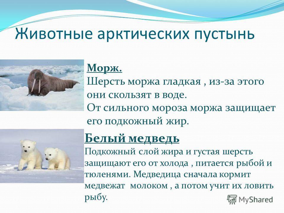Животные арктических пустынь Морж. Шерсть моржа гладкая, из-за этого они скользят в воде. От сильного мороза моржа защищает его подкожный жир. Белый медведь Подкожный слой жира и густая шерсть защищают его от холода, питается рыбой и тюленями. Медвед