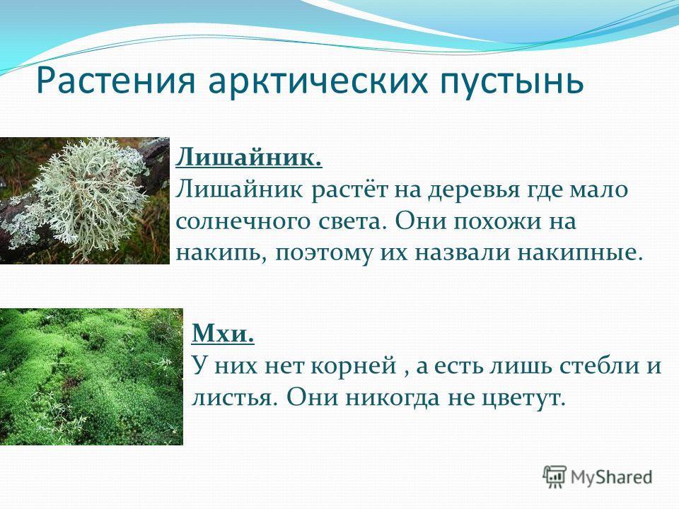 Растения арктических пустынь Лишайник. Лишайник растёт на деревья где мало солнечного света. Они похожи на накипь, поэтому их назвали накипные. Мхи. У них нет корней, а есть лишь стебли и листья. Они никогда не цветут.