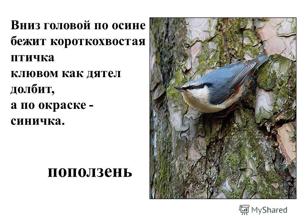 Вниз головой по осине бежит короткохвостая птичка клювом как дятел долбит, а по окраске - синичка. поползень