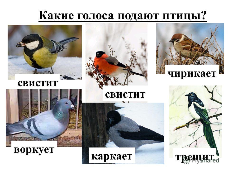 Какие голоса подают птицы? чирикает свистит воркует каркает трещит