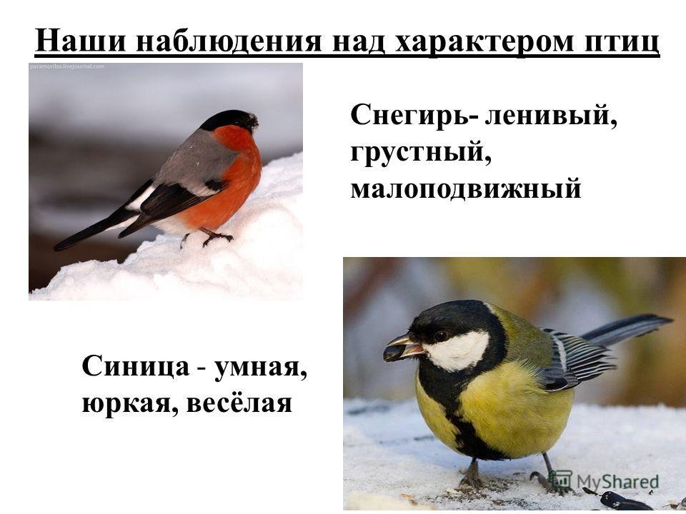 Наши наблюдения над характером птиц Снегирь- ленивый, грустный, малоподвижный Синица - умная, юркая, весёлая