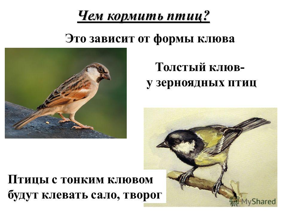 Чем кормить птиц? Это зависит от формы клюва Толстый клюв- у зерноядных птиц Птицы с тонким клювом будут клевать сало, творог