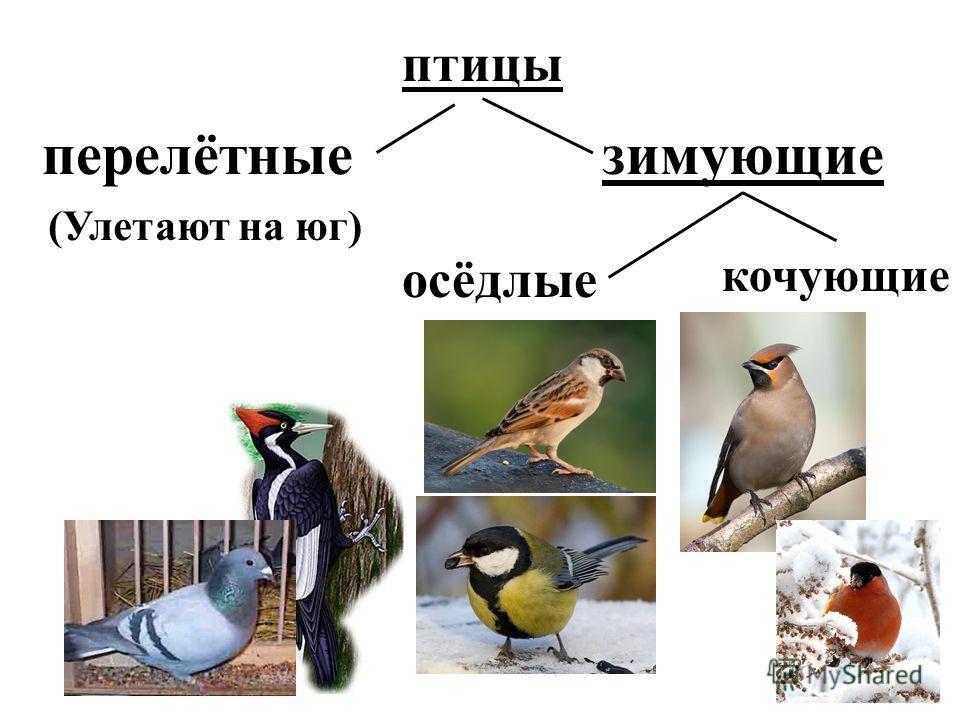 птицы перелётныезимующие осёдлые кочующие (Улетают на юг)