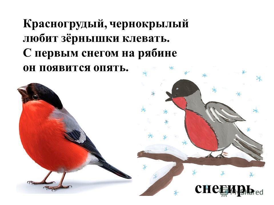 Красногрудый, чернокрылый любит зёрнышки клевать. С первым снегом на рябине он появится опять. снегирь