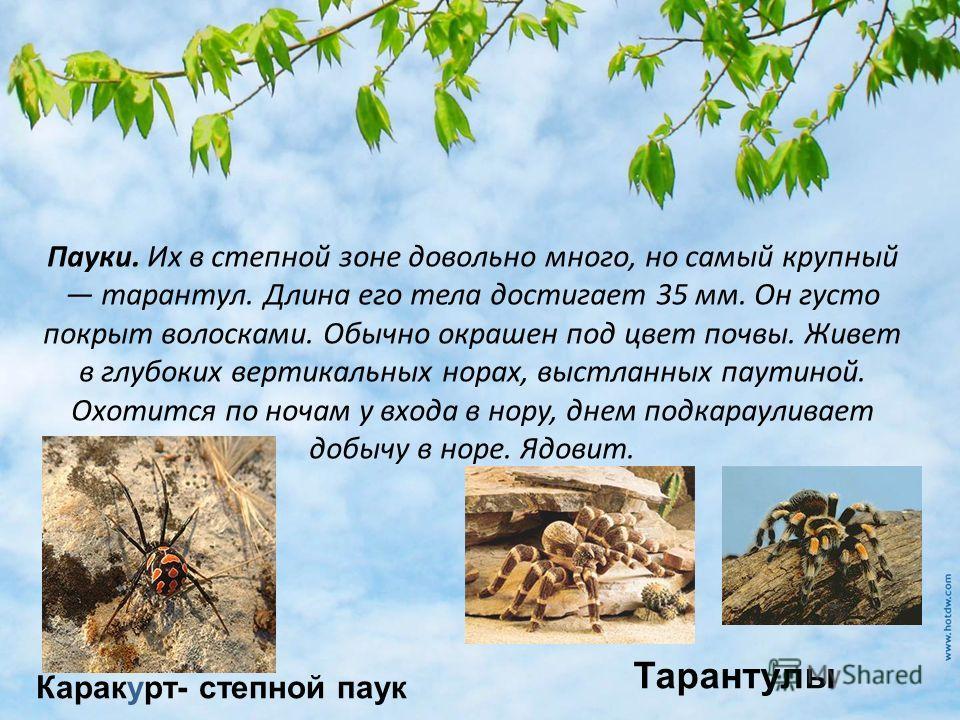 Пауки. Их в степной зоне довольно много, но самый крупный тарантул. Длина его тела достигает 35 мм. Он густо покрыт волосками. Обычно окрашен под цвет почвы. Живет в глубоких вертикальных норах, выстланных паутиной. Охотится по ночам у входа в нору,