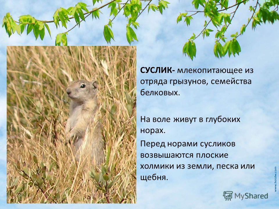 СУСЛИК- млекопитающее из отряда грызунов, семейства белковых. На воле живут в глубоких норах. Перед норами сусликов возвышаются плоские холмики из земли, песка или щебня.