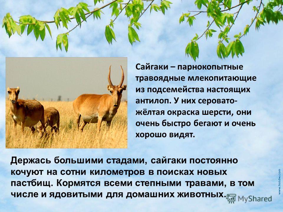 Сайгаки – парнокопытные травоядные млекопитающие из подсемейства настоящих антилоп. У них серовато- жёлтая окраска шерсти, они очень быстро бегают и очень хорошо видят. Держась большими стадами, сайгаки постоянно кочуют на сотни километров в поисках