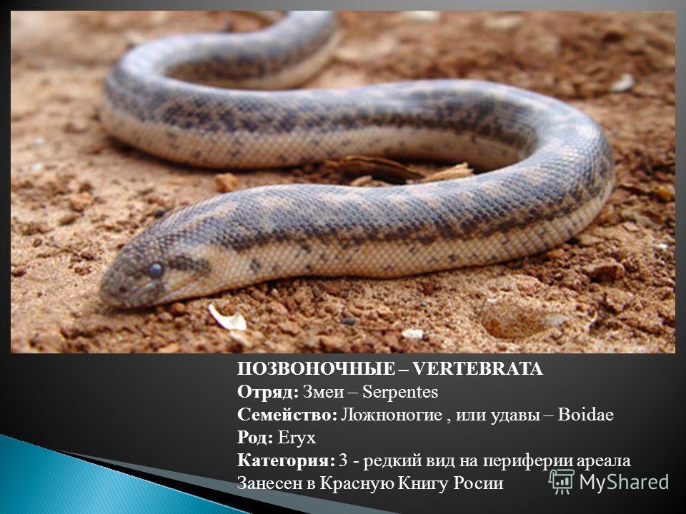 ПОЗВОНОЧНЫЕ – VERTEBRATA Отряд: Змеи – Serpentes Семейство: Ложноногие, или удавы – Boidae Род: Eryx Категория: 3 - редкий вид на периферии ареала Занесен в Красную Книгу Росии
