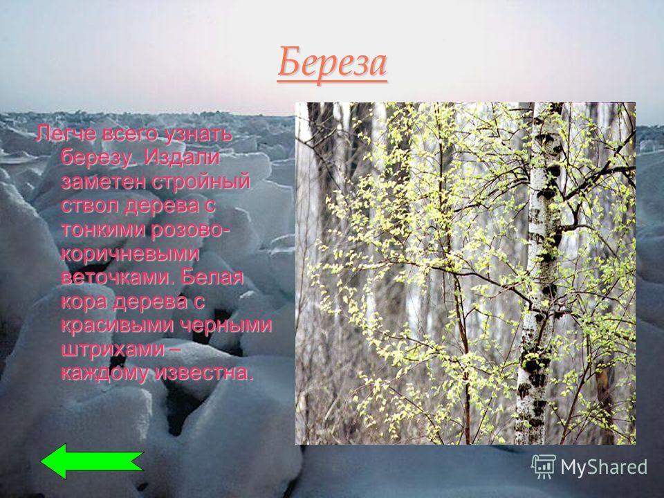 Береза Легче всего узнать березу. Издали заметен стройный ствол дерева с тонкими розово- коричневыми веточками. Белая кора дерева с красивыми черными штрихами – каждому известна.