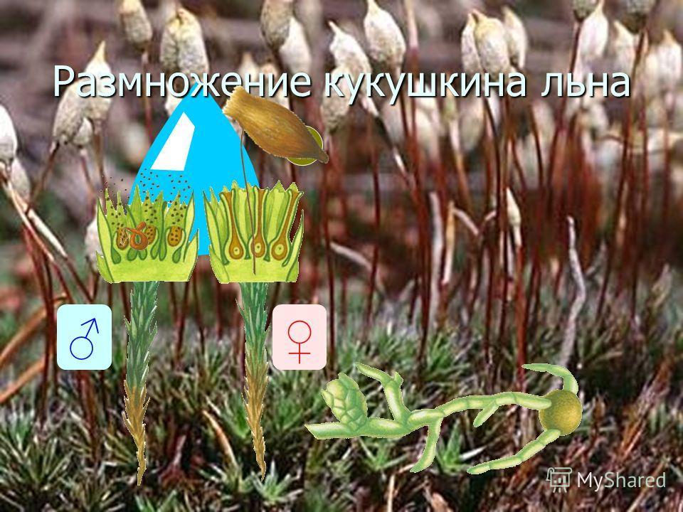 12 Размножение кукушкина льна