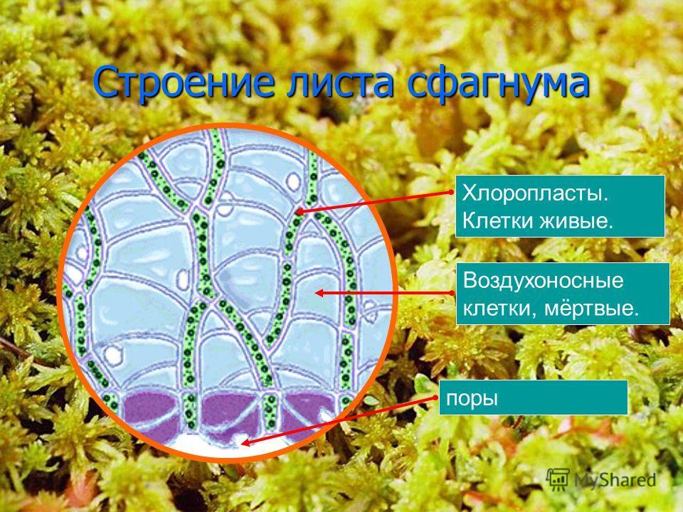 18 Строение листа сфагнума Хлоропласты. Клетки живые. Воздухоносные клетки, мёртвые. поры