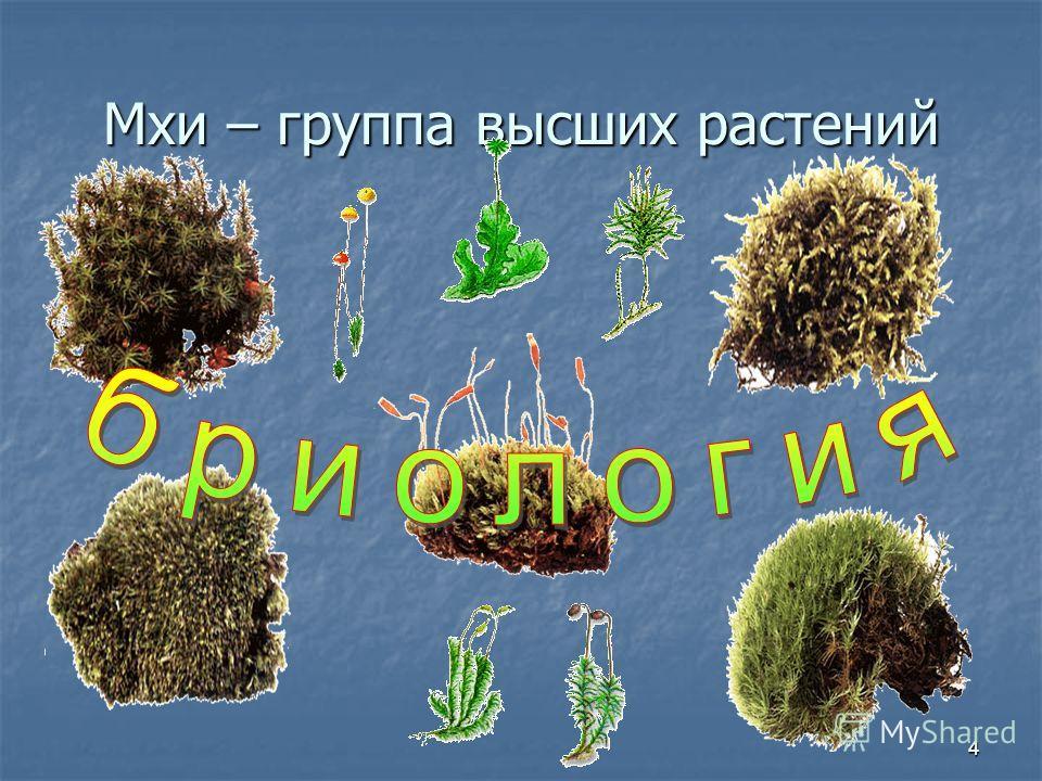 4 Мхи – группа высших растений