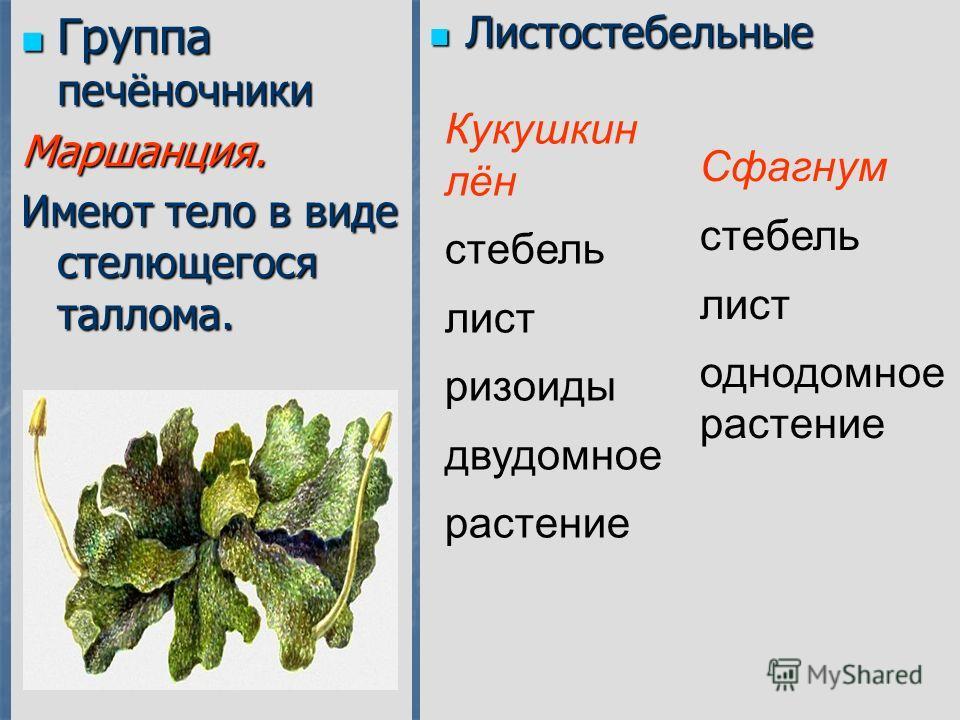 Группа печёночники Группа печёночникиМаршанция. Имеют тело в виде стелющегося таллома. Листостебельные Листостебельные Кукушкин лён стебель лист ризоиды двудомное растение Сфагнум стебель лист однодомное растение
