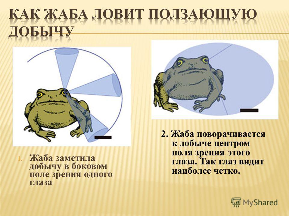 1. Жаба заметила добычу в боковом поле зрения одного глаза 2. Жаба поворачивается к добыче центром поля зрения этого глаза. Так глаз видит наиболее четко.