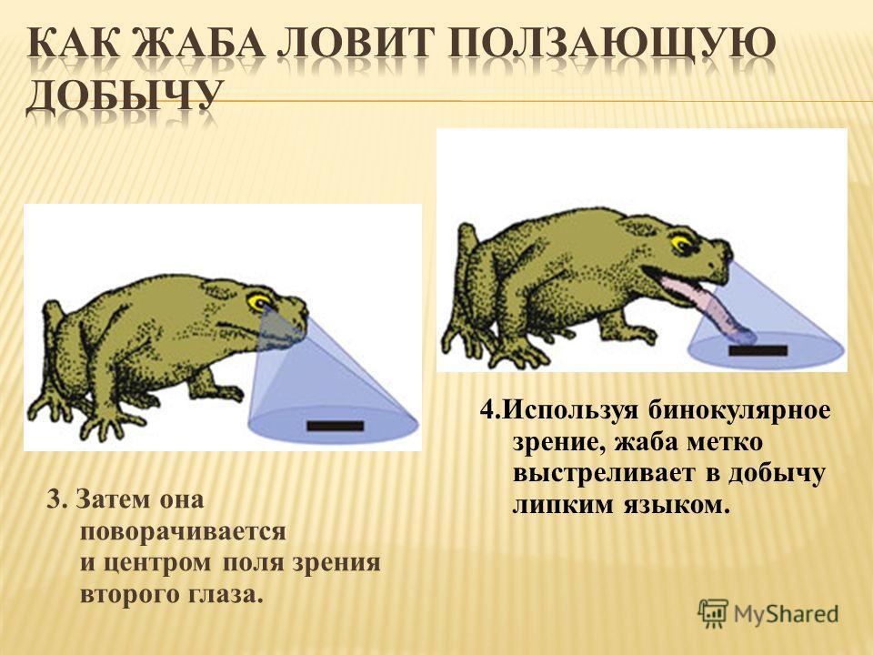 3. Затем она поворачивается и центром поля зрения второго глаза. 4.Используя бинокулярное зрение, жаба метко выстреливает в добычу липким языком.
