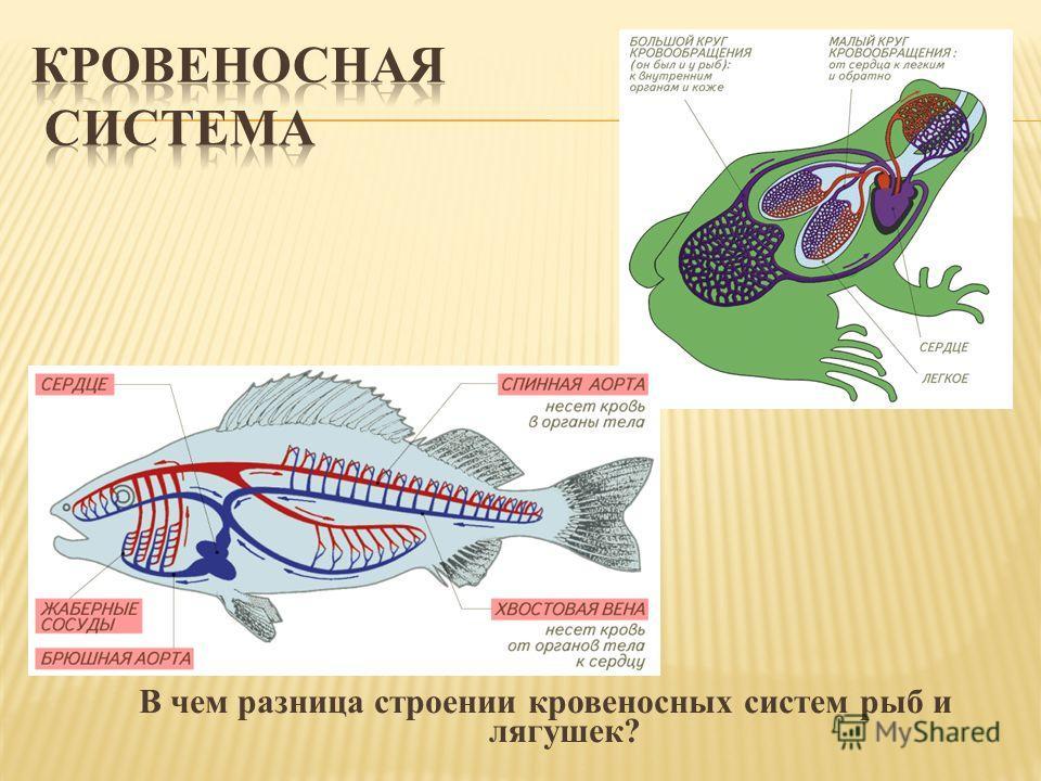 В чем разница строении кровеносных систем рыб и лягушек?