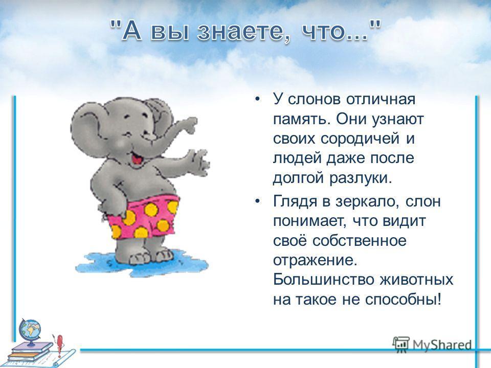 У слонов отличная память. Они узнают своих сородичей и людей даже после долгой разлуки. Глядя в зеркало, слон понимает, что видит своё собственное отражение. Большинство животных на такое не способны!