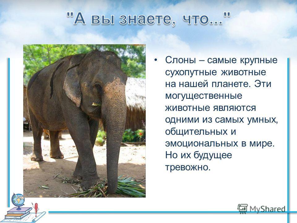 Слоны – самые крупные сухопутные животные на нашей планете. Эти могущественные животные являются одними из самых умных, общительных и эмоциональных в мире. Но их будущее тревожно.