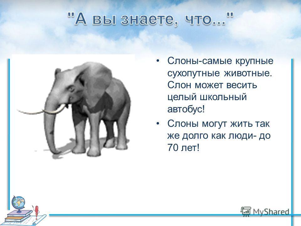 Слоны-самые крупные сухопутные животные. Слон может весить целый школьный автобус! Слоны могут жить так же долго как люди- до 70 лет!