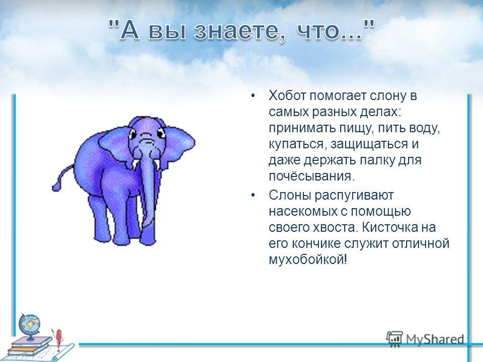 Хобот помогает слону в самых разных делах: принимать пищу, пить воду, купаться, защищаться и даже держать палку для почёсывания. Слоны распугивают насекомых с помощью своего хвоста. Кисточка на его кончике служит отличной мухобойкой!
