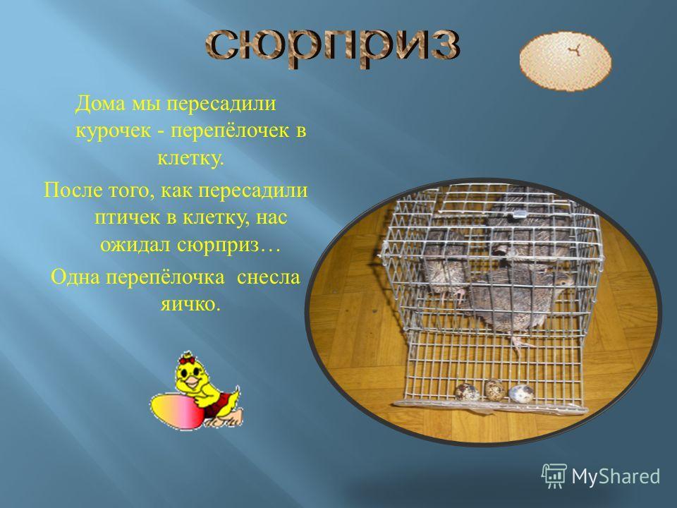 Дома мы пересадили курочек - перепёлочек в клетку. После того, как пересадили птичек в клетку, нас ожидал сюрприз … Одна перепёлочка снесла яичко.