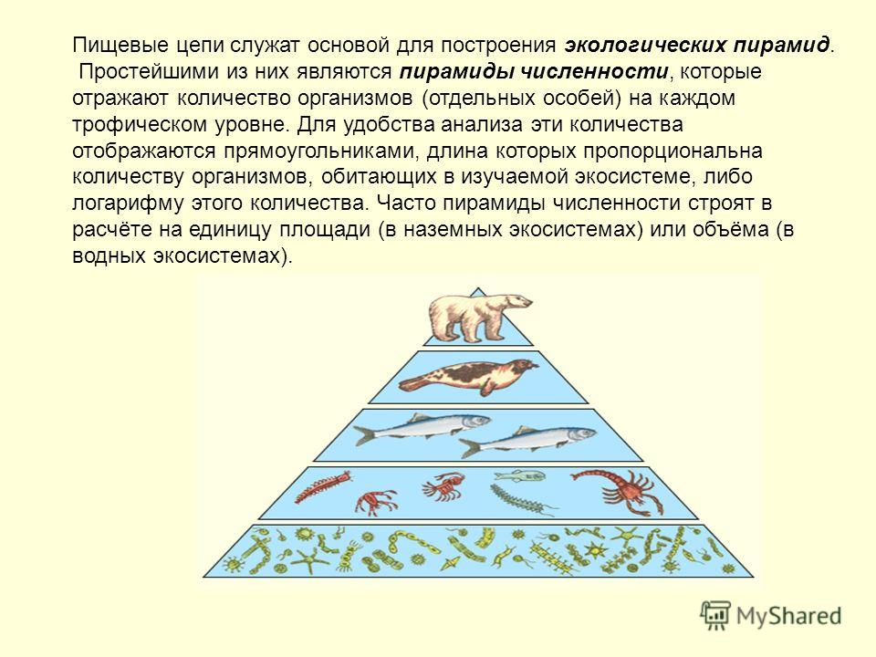 Пищевые цепи служат основой для построения экологических пирамид. Простейшими из них являются пирамиды численности, которые отражают количество организмов (отдельных особей) на каждом трофическом уровне. Для удобства анализа эти количества отображают