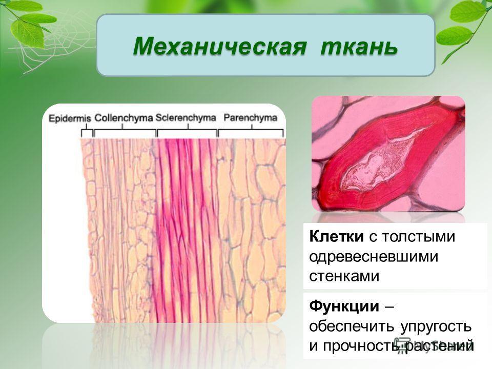 Клетки с толстыми одревесневшими стенками Функции – обеспечить упругость и прочность растений Механическая ткань