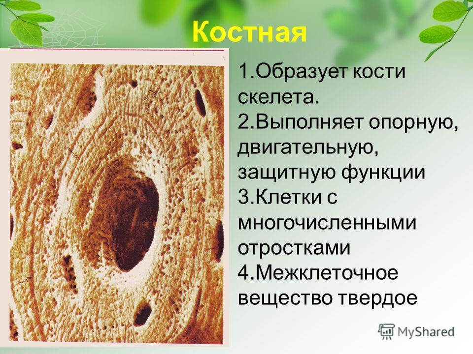 Костная 1.Образует кости скелета. 2.Выполняет опорную, двигательную, защитную функции 3.Клетки с многочисленными отростками 4.Межклеточное вещество твердое