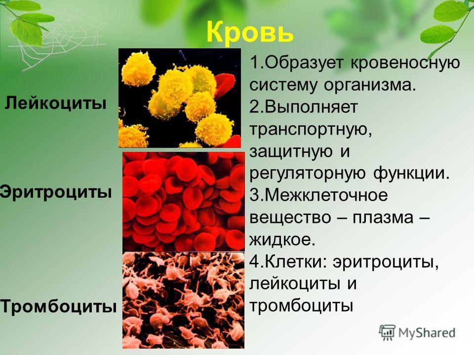 Кровь 1.Образует кровеносную систему организма. 2.Выполняет транспортную, защитную и регуляторную функции. 3.Межклеточное вещество – плазма – жидкое. 4.Клетки: эритроциты, лейкоциты и тромбоциты Лейкоциты Эритроциты Тромбоциты