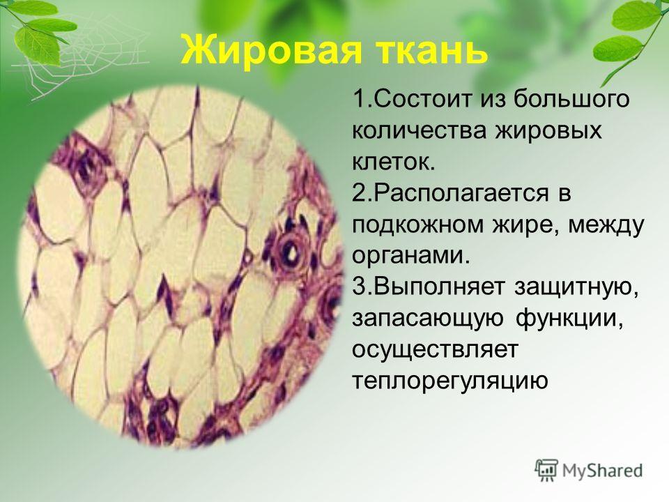 Жировая ткань 1.Состоит из большого количества жировых клеток. 2.Располагается в подкожном жире, между органами. 3.Выполняет защитную, запасающую функции, осуществляет теплорегуляцию