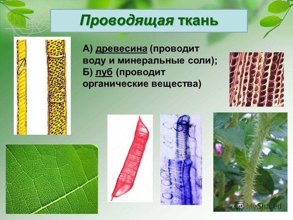 Проводящая ткань А) древесина (проводит воду и минеральные соли); Б) луб (проводит органические вещества)
