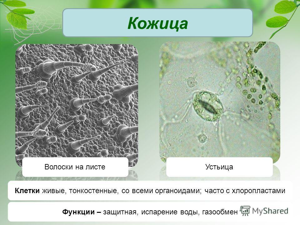 Кожица Волоски на листеУстьица Клетки живые, тонкостенные, со всеми органоидами; часто с хлоропластами Функции – защитная, испарение воды, газообмен
