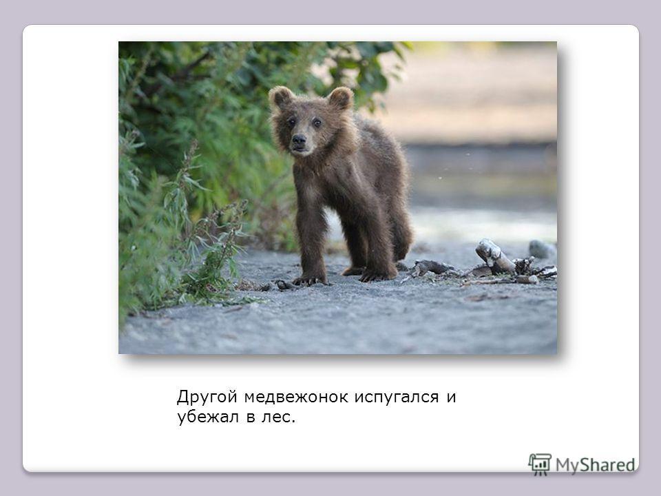 Медведица схватила одного медвежонка зубами за шиворот и давай окунать в речку.