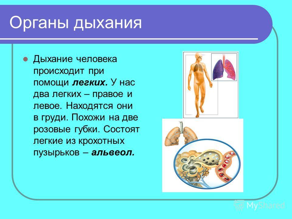 Органы дыхания Дыхание человека происходит при помощи легких. У нас два легких – правое и левое. Находятся они в груди. Похожи на две розовые губки. Состоят легкие из крохотных пузырьков – альвеол.