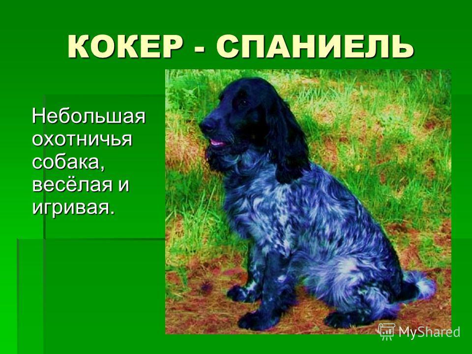КОКЕР - СПАНИЕЛЬ Небольшая охотничья собака, весёлая и игривая. Небольшая охотничья собака, весёлая и игривая.