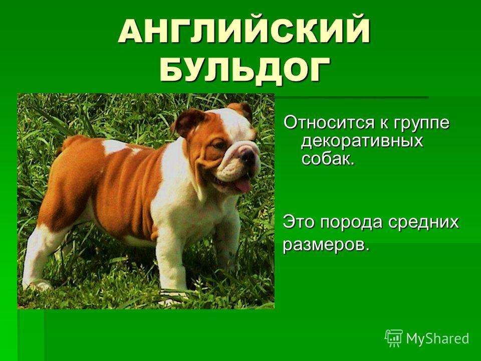 АНГЛИЙСКИЙ БУЛЬДОГ Относится к группе декоративных собак. Это порода средних размеров. Это порода средних размеров.