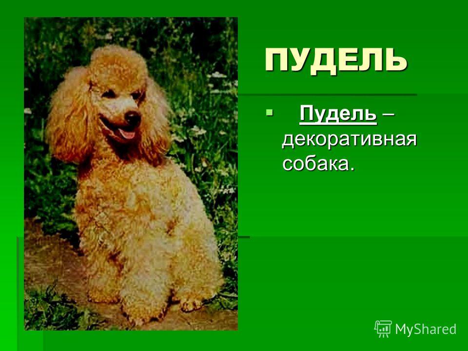 ПУДЕЛЬ ПУДЕЛЬ Пудель – декоративная собака. Пудель – декоративная собака.