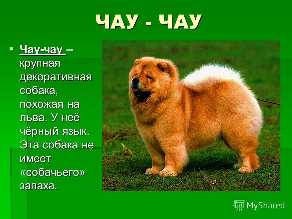 ЧАУ - ЧАУ Чау-чау – крупная декоративная собака, похожая на льва. У неё чёрный язык. Эта собака не имеет «собачьего» запаха. Чау-чау – крупная декоративная собака, похожая на льва. У неё чёрный язык. Эта собака не имеет «собачьего» запаха.