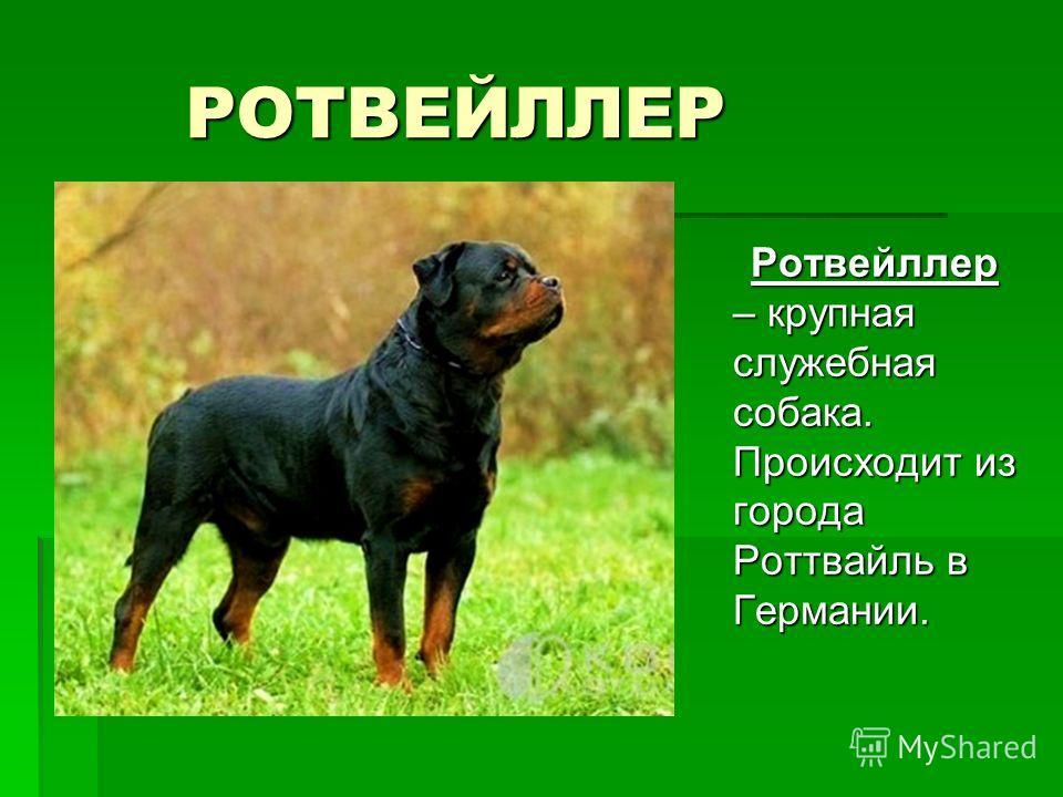 РОТВЕЙЛЛЕР Ротвейллер – крупная служебная собака. Происходит из города Роттвайль в Германии. Ротвейллер – крупная служебная собака. Происходит из города Роттвайль в Германии.