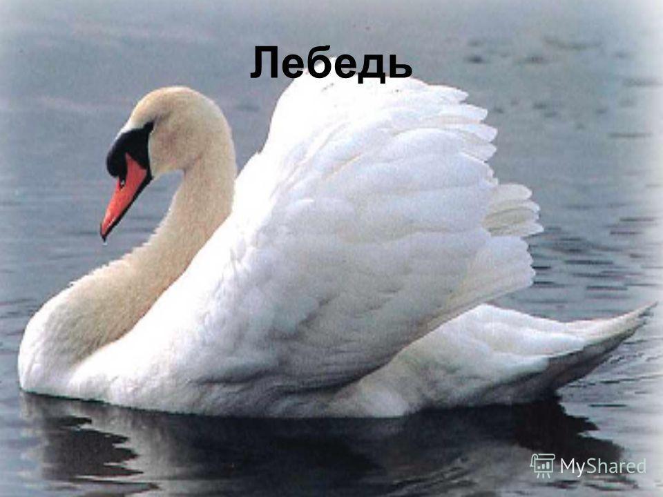 Серый утёнок Я - серенький гадкий утёнок, пока неуклюж и неловок, Вот вырасту, стану красивым, лебедем, всеми любимым!