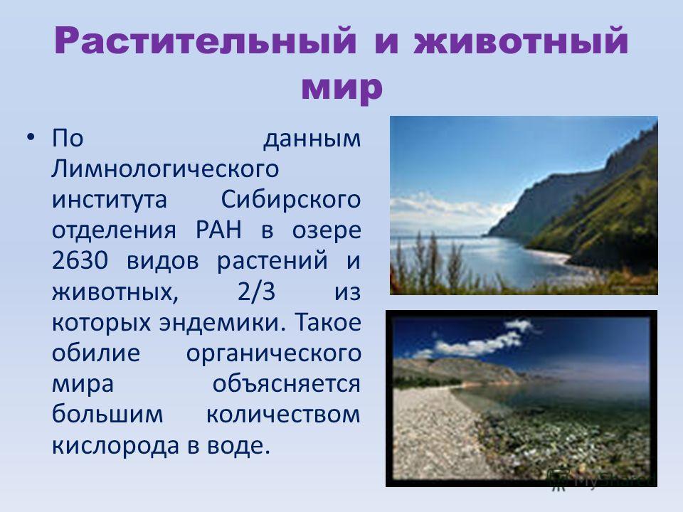 Растительный и животный мир По данным Лимнологического института Сибирского отделения РАН в озере 2630 видов растений и животных, 2/3 из которых эндемики. Такое обилие органического мира объясняется большим количеством кислорода в воде.