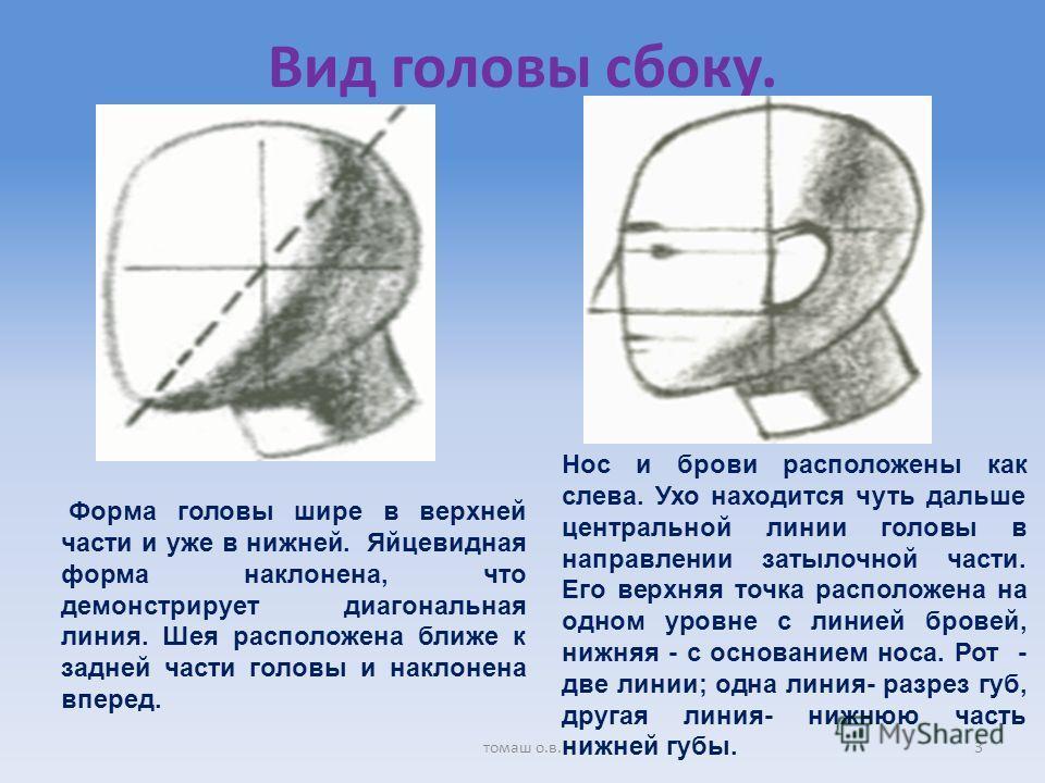 Вид головы сбоку. Форма головы шире в верхней части и уже в нижней. Яйцевидная форма наклонена, что демонстрирует диагональная линия. Шея расположена ближе к задней части головы и наклонена вперед. Нос и брови расположены как слева. Ухо находится чут