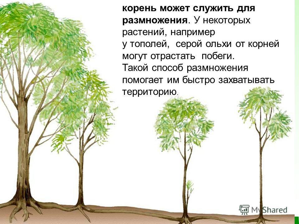корень может служить для размножения. У некоторых растений, например у тополей, серой ольхи от корней могут отрастать побеги. Такой способ размножения помогает им быстро захватывать территорию.